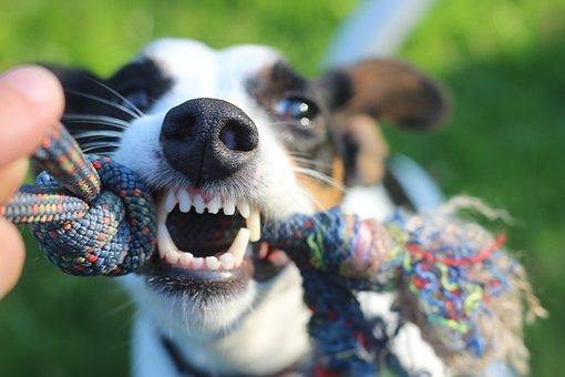 Carnet perros peligrosos (licencia)